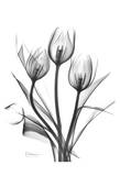 Tulips Bunch in Black and White