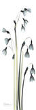 Snow Drop Galanthus