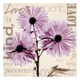 Love  Violet Chrysanthemum