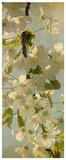Bloom in Spring II