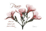 Oleander  Peace