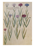 Cornflowers from &#39;Camerarius Florilegium&#39;