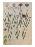 Cornflowers from 'Camerarius Florilegium'