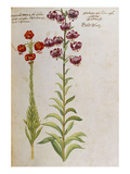 Martagon Lilies from &#39;Camerarius Florilegium&#39;