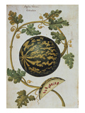 Melon with Speckled Skin  Anguria Turcica from &#39;Camerarius Florilegium&#39;