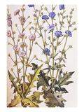 Chicory; Cichorium Intybus from 'Camerarius Florilegium'