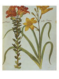 Red Lily with Bulbils  Lilium Buldiferum  and Yellow Day Lily Heerocallis Lilio Asphodelus from