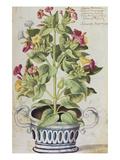 Marvel of Peru  Mirabilis Jalapa  in a Blue and White Pot from 'Camerarius Florilegium'