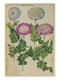 Double Poppies from &#39;Camerarius Florilegium&#39;