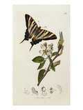 Butterfly and Larvae  from 'British Entomology'