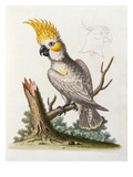 Lefser Cockatoo from  &#39;A Natural History of Uncommon Birds  and of Some Other Rare and