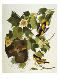 Baltimore Oriole Northern Oriole (Icterus Galula)  from &#39;The Birds of America&#39;