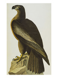 The Bird of Washington Bald Eagle (Haliaeetus Leucocephalus)  Plate XI  from 'The Birds of America'