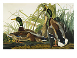 Mallard Duck Mallard (Anas Platyrhynchos)  Plate Ccxxi  from &#39;The Birds of America&#39;