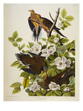 Carolina Turtledove Mourning Dove  (Zenaida Macroura)  Plate Xvii  from 'The Birds of America'