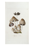 Fungi Agaricus Ovalus  from &#39;Flora Londinesis&#39;