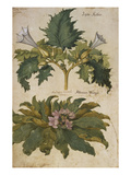 Thornapple; Datura Stramonium and Mandrake; Mandragora Autumnalis from &#39;Camerarius Florilegium&#39;