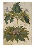 Thornapple; Datura Stramonium and Mandrake; Mandragora Autumnalis from 'Camerarius Florilegium'