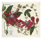 Passionflower  from 'The Botanical Register'