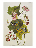 Black & Yellow Magnolia Warbler (Dendroica Magnolia)  Plate CXXIII  from 'The Birds of America'