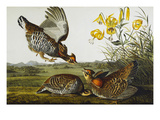 Pinnated Grouse Greater Prairie Chicken (Tympanuchus Cupido)  from 'The Birds of America'