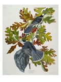 Canada Jay (Corvus Canadensis)  Plate Cvii  from 'The Birds of America'