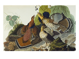 Ruffed Grouse (Tetrao Umbellus)  Plate Xli  from &#39;The Birds of America&#39;