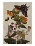 Study of Mirabilis and Origanum Dictamnus with Swallowtail and Ringlet Butterflies