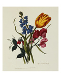 Sweet Pea and Tulip  Sketches of Flowers from Nature