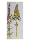 Loosestrife  Lythrum Salicaria and Lysi Machia Punctata from &#39;Camerarius Florilegium&#39;