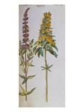 Loosestrife  Lythrum Salicaria and Lysi Machia Punctata from 'Camerarius Florilegium'