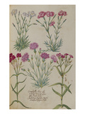 Pinks from &#39;Camerarius Florilegium&#39;