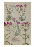 Pinks from 'Camerarius Florilegium'