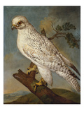 A Falcon on a Branch