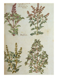 Four Kinds of Basil from &#39;Camerarius Florilegium&#39;