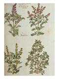 Four Kinds of Basil from 'Camerarius Florilegium'