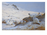 Ptarmigan