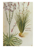 Asphodel from &#39;Camerarius Florilegium&#39;