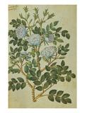 Double White Rose from 'Camerarius Florilegium'