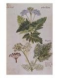 Sweet Cicily  Myrrhis Odorata  Above Baldmoney Plant; Meum Athamanticum from 'Camerarius…