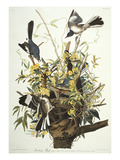 Mocking Bird. Northern Mockingbird (Mimus Polyglottos), Plate Xxi, from 'The Birds of America' Giclée par John James Audubon