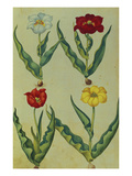 Tulips with Bulbs and Roots from &#39;Camerarius Florilegium&#39;