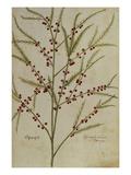 Asparagus from 'Camerarius Florilegium'