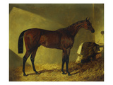 The Race Horse 'Merry Monarch' in a Stall