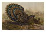 Malayan Peacock Pheasant (Polyplectron Bicalcaratum)