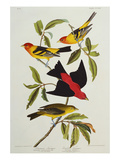 Louisiana &amp; Scarlet Tanager (Tanagra Ludoviciana &amp; Rubra)  Plate CCCLIV  from&#39;The Birds of America&#39;