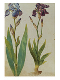 Two Irises from &#39;Camerarius Florilegium&#39;