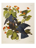 White Headed Pigeon (Columba Leucocephala)  Plate Clxxvii  from &#39;The Birds of America&#39;