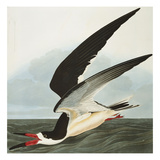Black Skimmer or Shearwater Black Skimmer (Rynchops Niger)  from &#39;The Birds of America&#39;