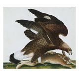 Eagle with Rabbit Prey Falco Aquila from 'The Birds of Denmark'; Tegninger Af Danske Fugle